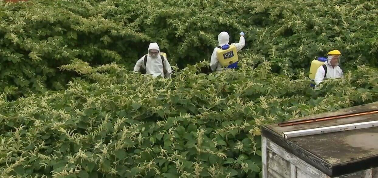 Information about how to control Japanese Knotweed  JKSL